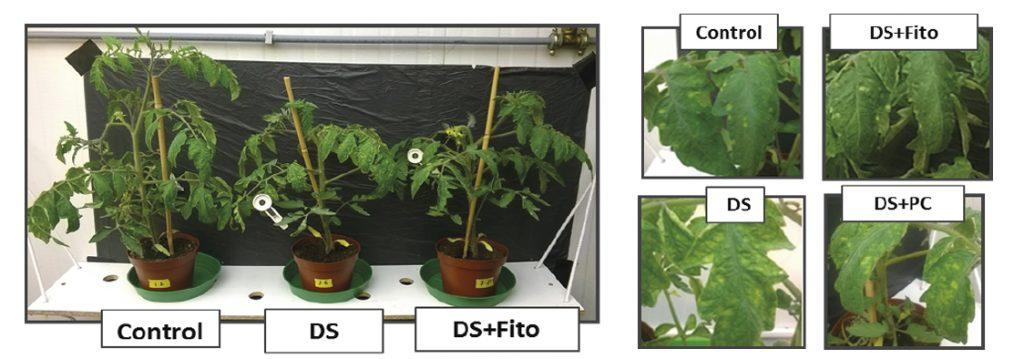 La aplicación foliar de Fitomare incrementa la tolerancia a la sequía en plantas de tomate.